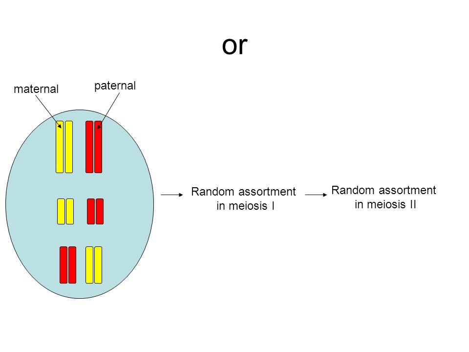 or Random assortment in meiosis I Random assortment in meiosis II maternal paternal