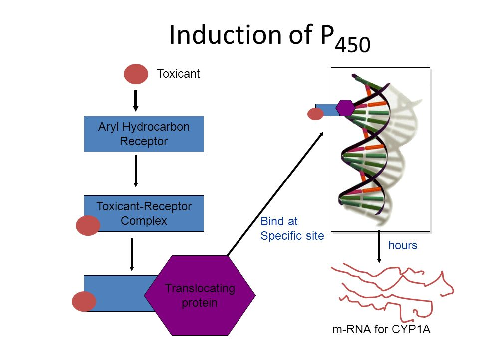 Induction of P 450 Aryl Hydrocarbon Receptor Toxicant Toxicant-Receptor Complex Translocating protein m-RNA for CYP1A hours Bind at Specific site