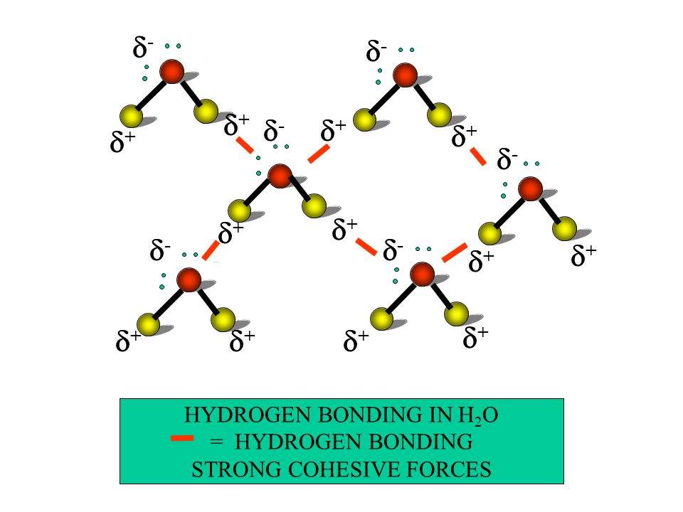 HYDROGEN BONDING IN H 2 O = HYDROGEN BONDING STRONG COHESIVE FORCES - + + - + + - + + - + + - + + - + +
