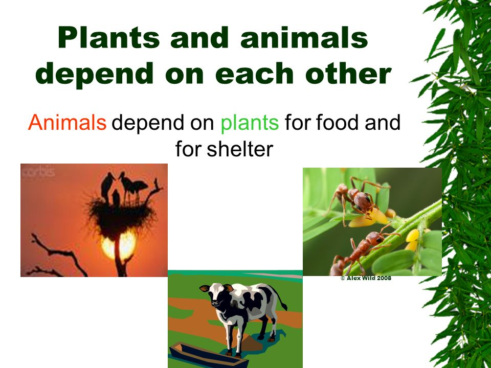 Plants and animals depend on each other Plants also need animals to disperse their seeds. Animals can eat the seeds and pass them out later in their w