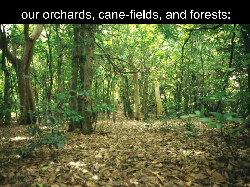 our orchards, cane-fields, and forests;