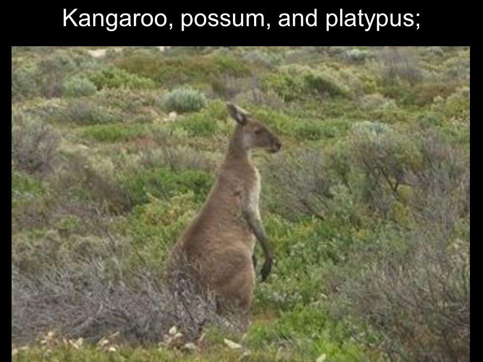 Kangaroo, possum, and platypus;