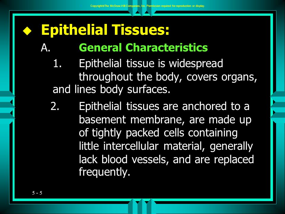 5 - 5 u Epithelial Tissues: A.General Characteristics 1.Epithelial tissue is widespread throughout the body, covers organs, and lines body surfaces. 2