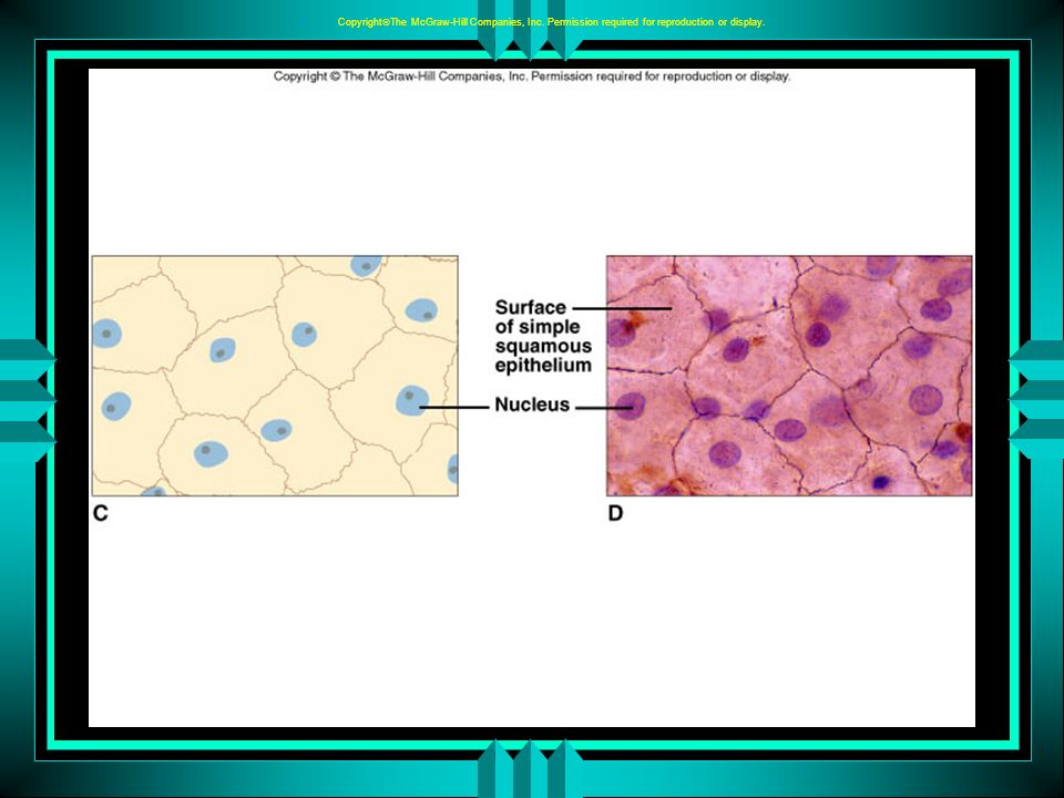 5 - 9 C.Simple Cuboidal Epithelium 1.Simple cuboidal epithelium consists of a single layer of cube-shaped cells with centrally located nuclei.