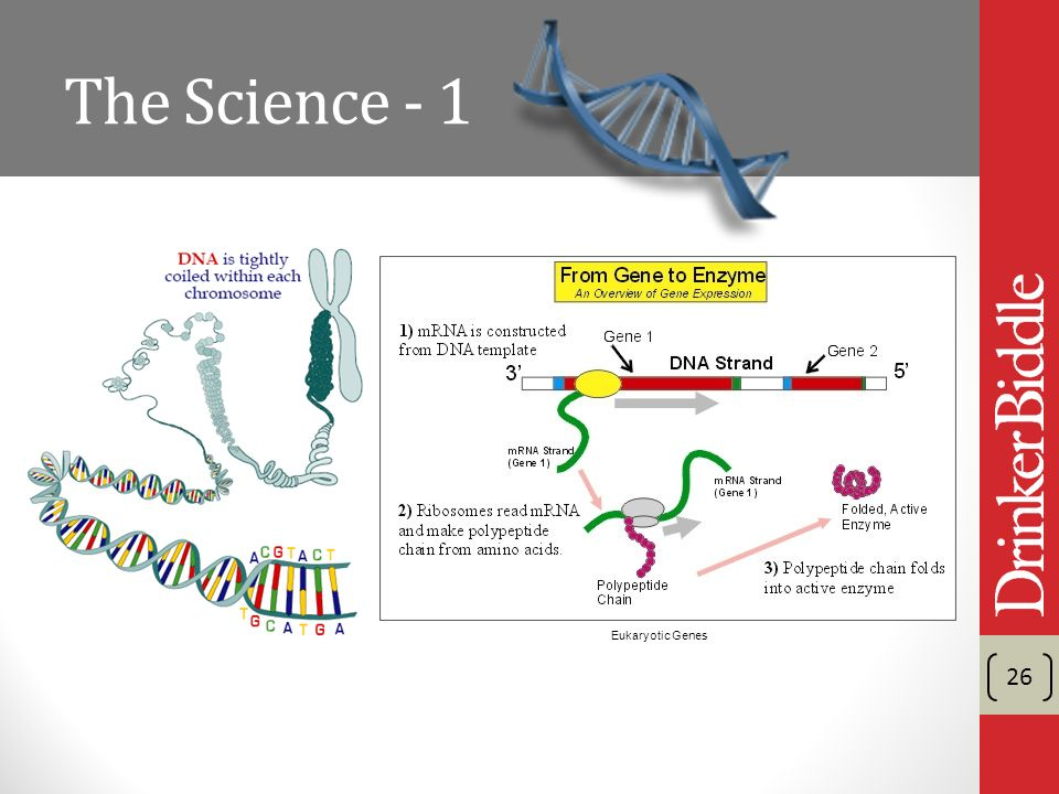The Science - 1 26 Eukaryotic Genes