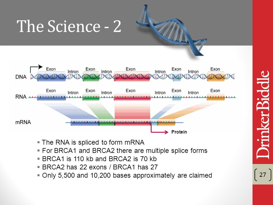 The Science - 2 27 The RNA is spliced to form mRNA For BRCA1 and BRCA2 there are multiple splice forms BRCA1 is 110 kb and BRCA2 is 70 kb BRCA2 has 22 exons / BRCA1 has 27 Only 5,500 and 10,200 bases approximately are claimed Protein
