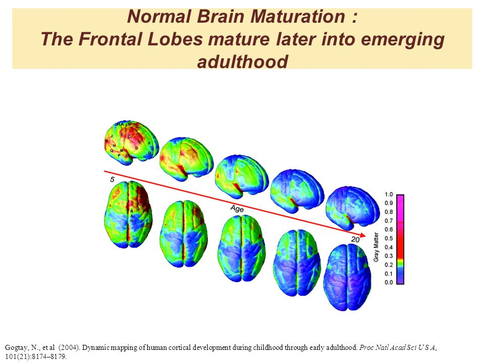 Normal Brain Maturation : The Frontal Lobes mature later into emerging adulthood Gogtay, N., et al (2004). Dynamic mapping of human cortical developme