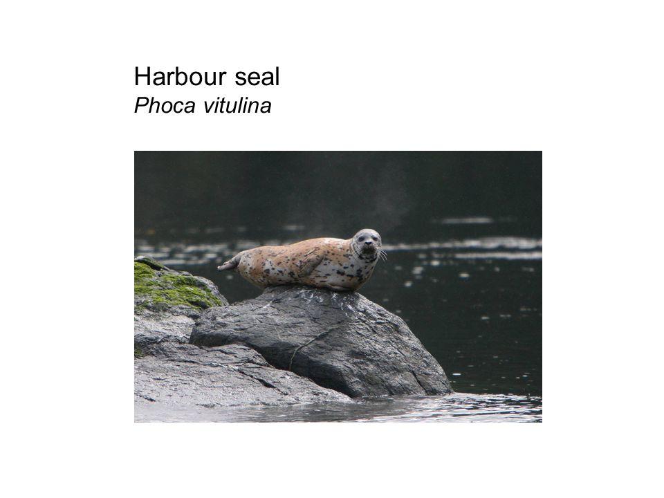 Harbour seal Phoca vitulina