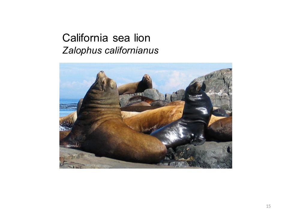 California sea lion Zalophus californianus 15