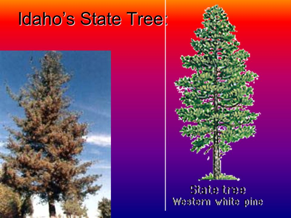 Idahos State Bird: