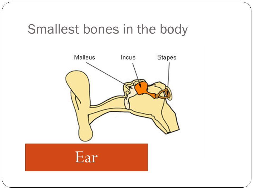 Smallest bones in the body Ear