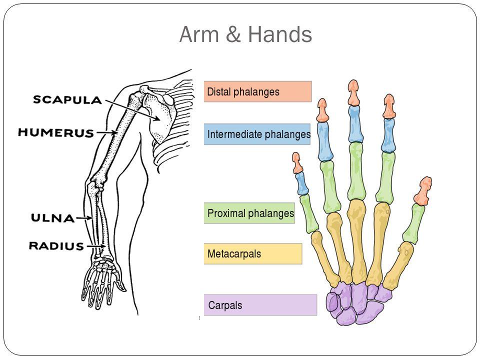 Arm & Hands