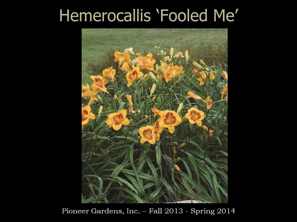 Hemerocallis Fooled Me Pioneer Gardens, Inc. – Fall 2013 - Spring 2014