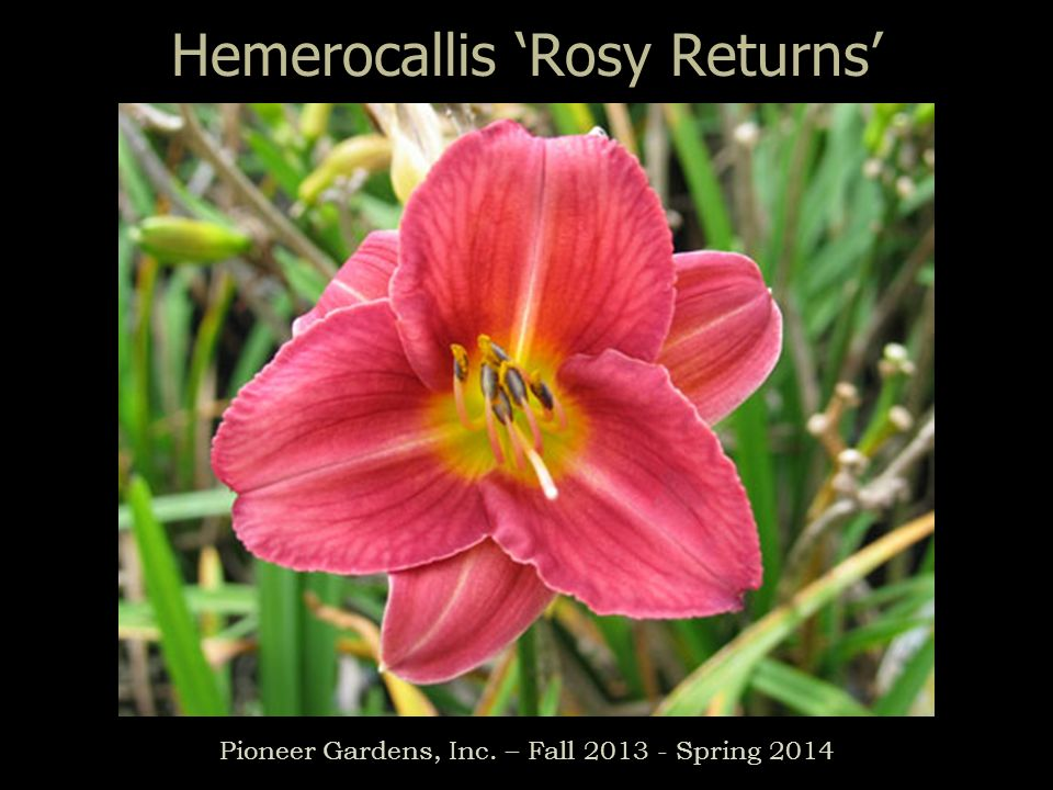 Hemerocallis Rosy Returns Pioneer Gardens, Inc. – Fall 2013 - Spring 2014