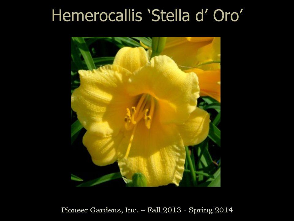 Hemerocallis Stella d Oro Pioneer Gardens, Inc. – Fall 2013 - Spring 2014