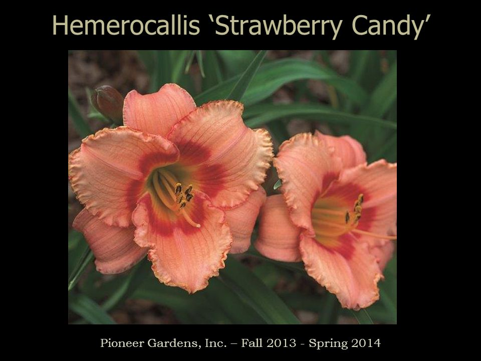 Hemerocallis Strawberry Candy Pioneer Gardens, Inc. – Fall 2013 - Spring 2014