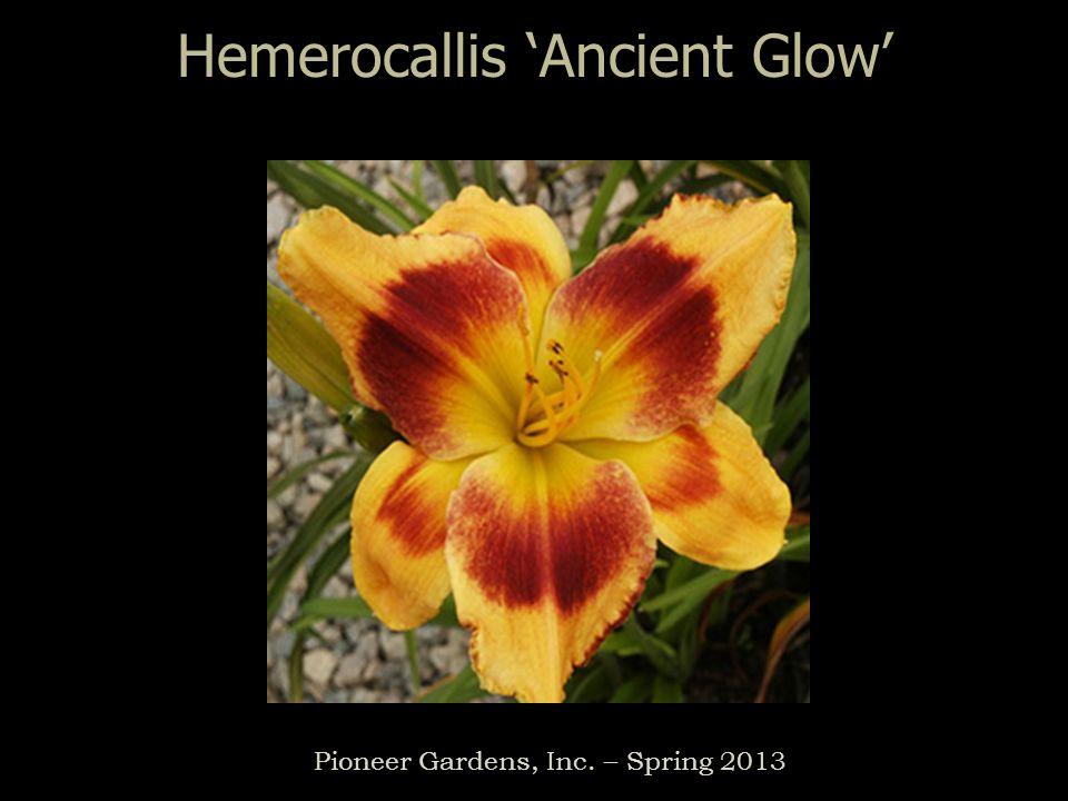 Hemerocallis Ancient Glow Pioneer Gardens, Inc. – Spring 2013