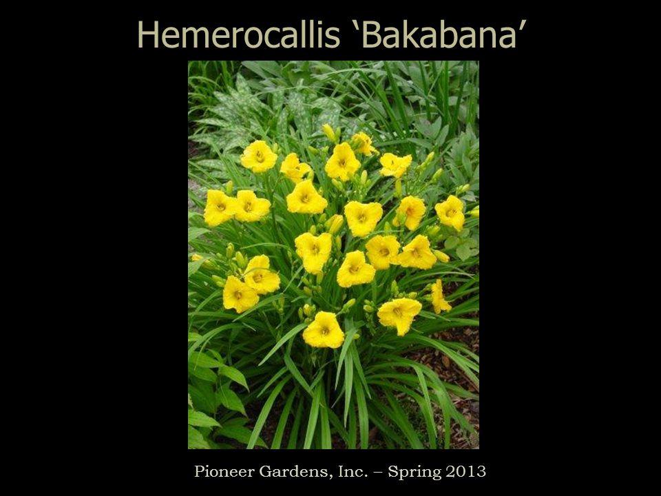 Hemerocallis Bakabana Pioneer Gardens, Inc. – Spring 2013