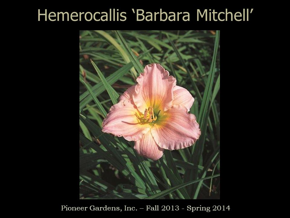 Hemerocallis Barbara Mitchell Pioneer Gardens, Inc. – Fall 2013 - Spring 2014