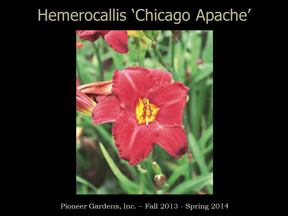 Hemerocallis Chicago Apache Pioneer Gardens, Inc. – Fall 2013 - Spring 2014