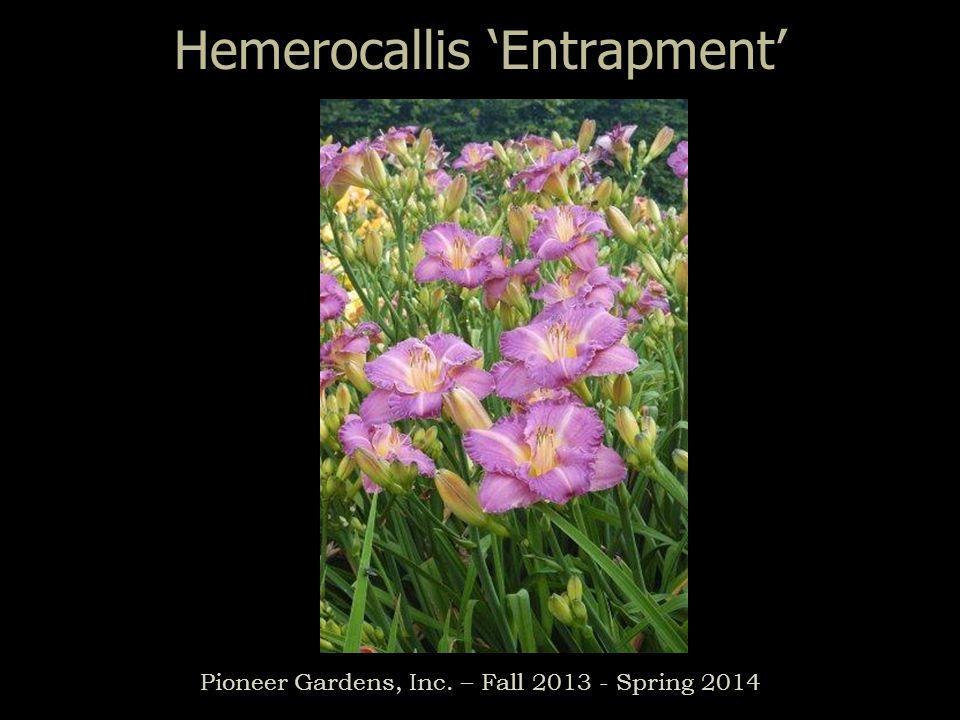 Hemerocallis Entrapment Pioneer Gardens, Inc. – Fall 2013 - Spring 2014
