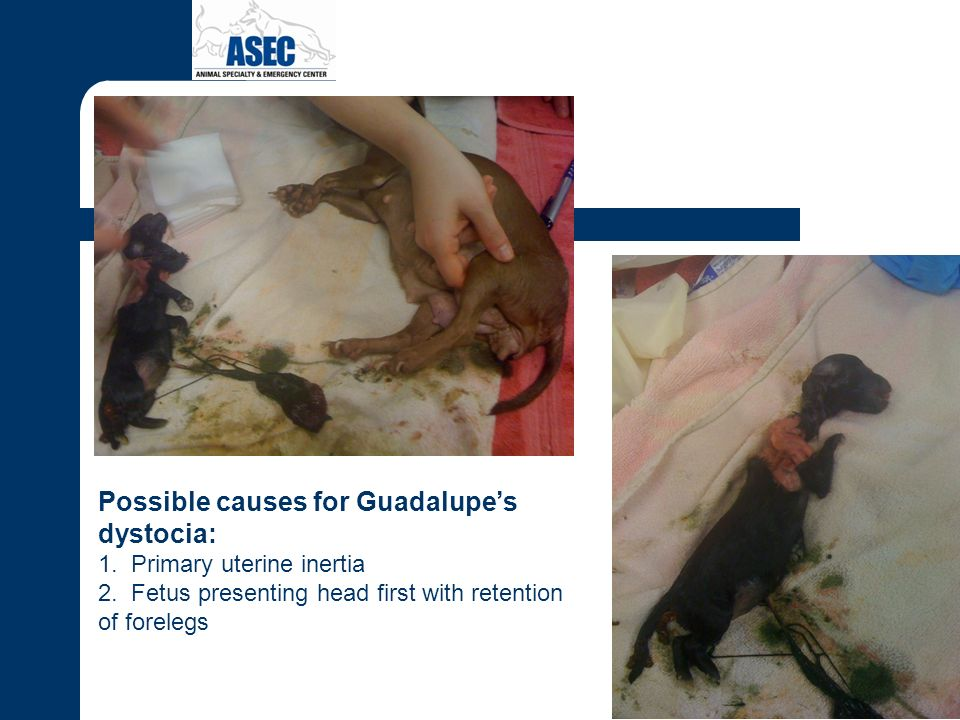 Possible causes for Guadalupes dystocia: 1. Primary uterine inertia 2. Fetus presenting head first with retention of forelegs