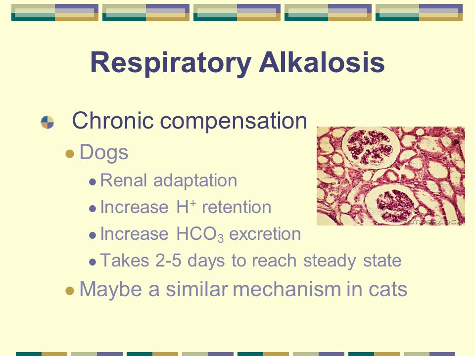 Respiratory Alkalosis Chronic compensation Dogs Renal adaptation Increase H + retention Increase HCO 3 excretion Takes 2-5 days to reach steady state