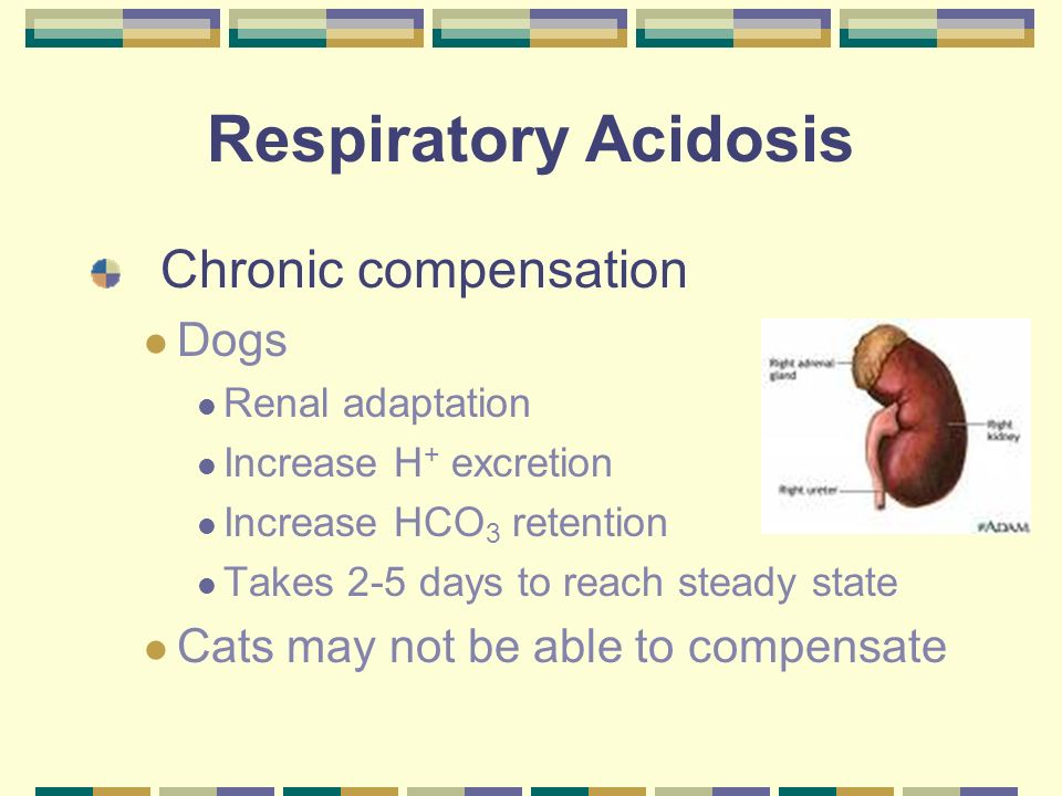 Respiratory Acidosis Chronic compensation Dogs Renal adaptation Increase H + excretion Increase HCO 3 retention Takes 2-5 days to reach steady state C