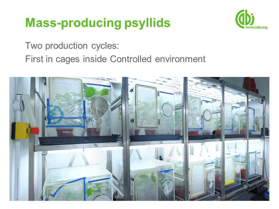 Two production cycles: First in cages inside Controlled environment Mass-producing psyllids
