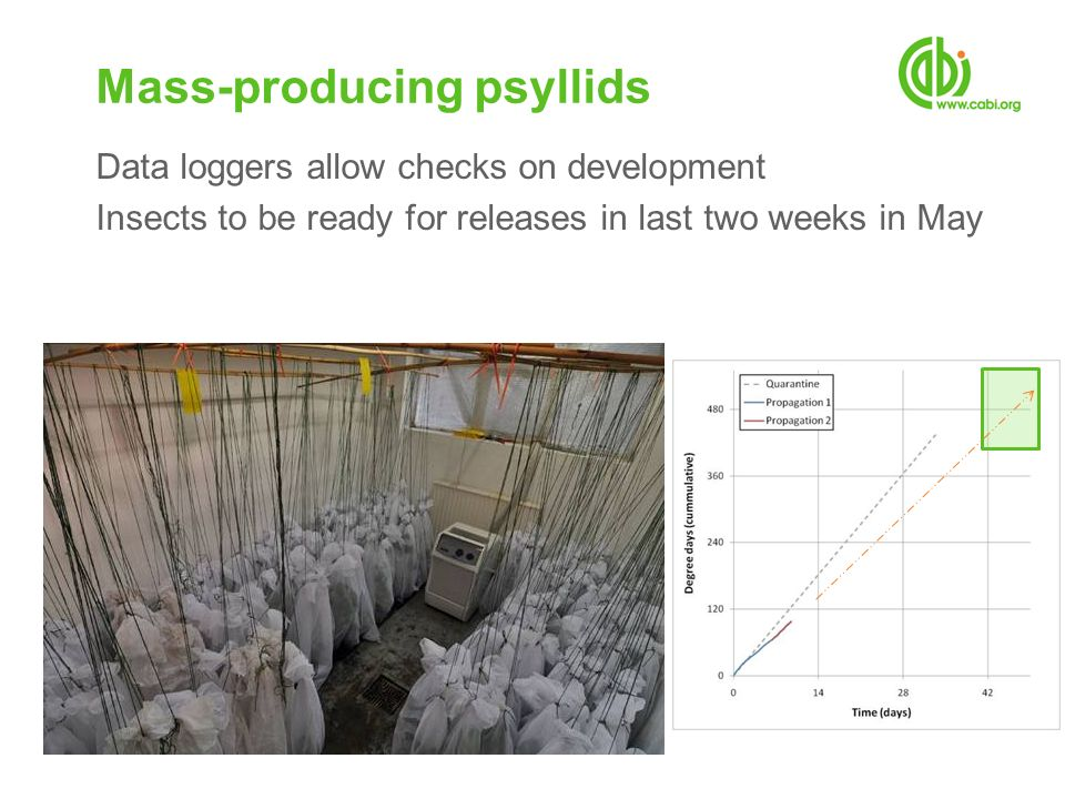 Data loggers allow checks on development Insects to be ready for releases in last two weeks in May Mass-producing psyllids