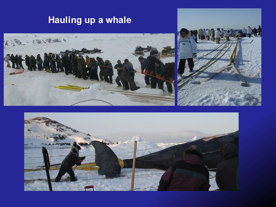 Hauling up a whale