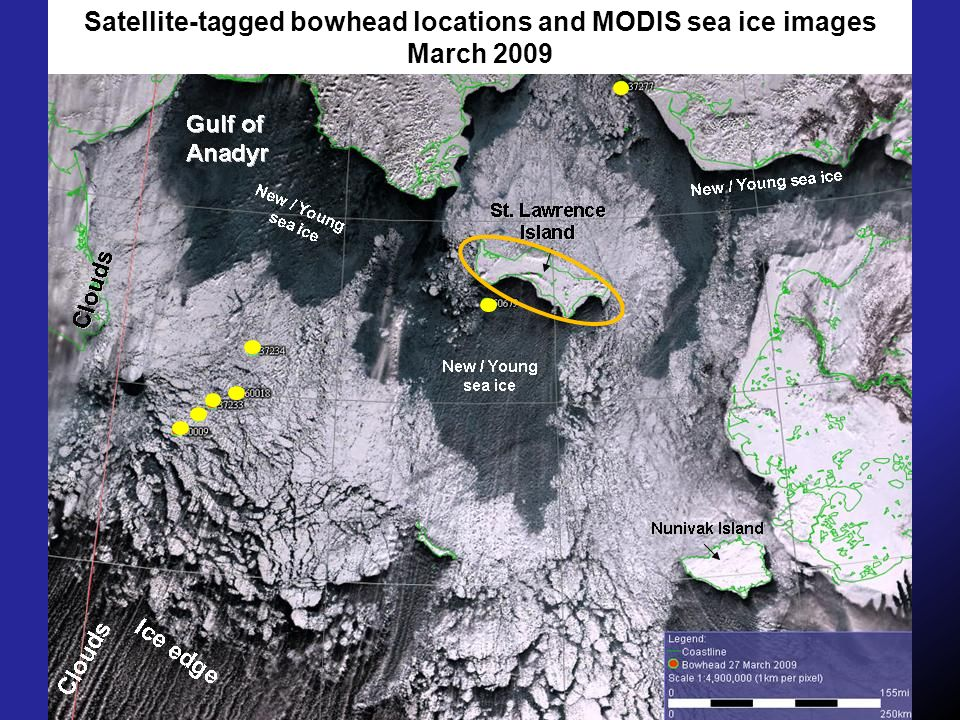 Satellite-tagged bowhead locations and MODIS sea ice images March 2009