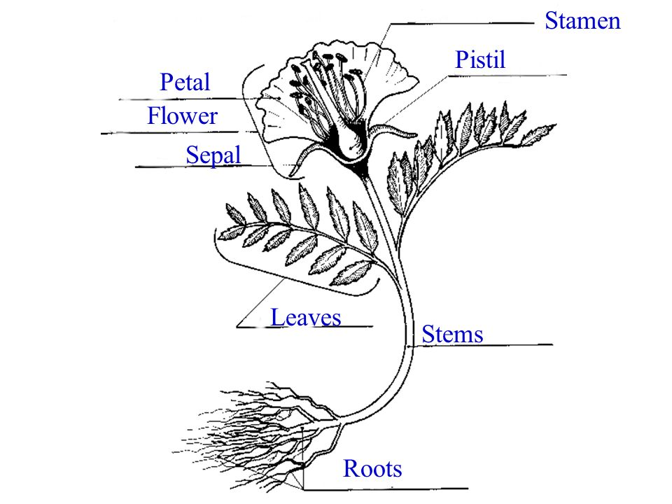 Angiosperm Structure Angiosperms are made up of: Roots Stems Leaves Flowers