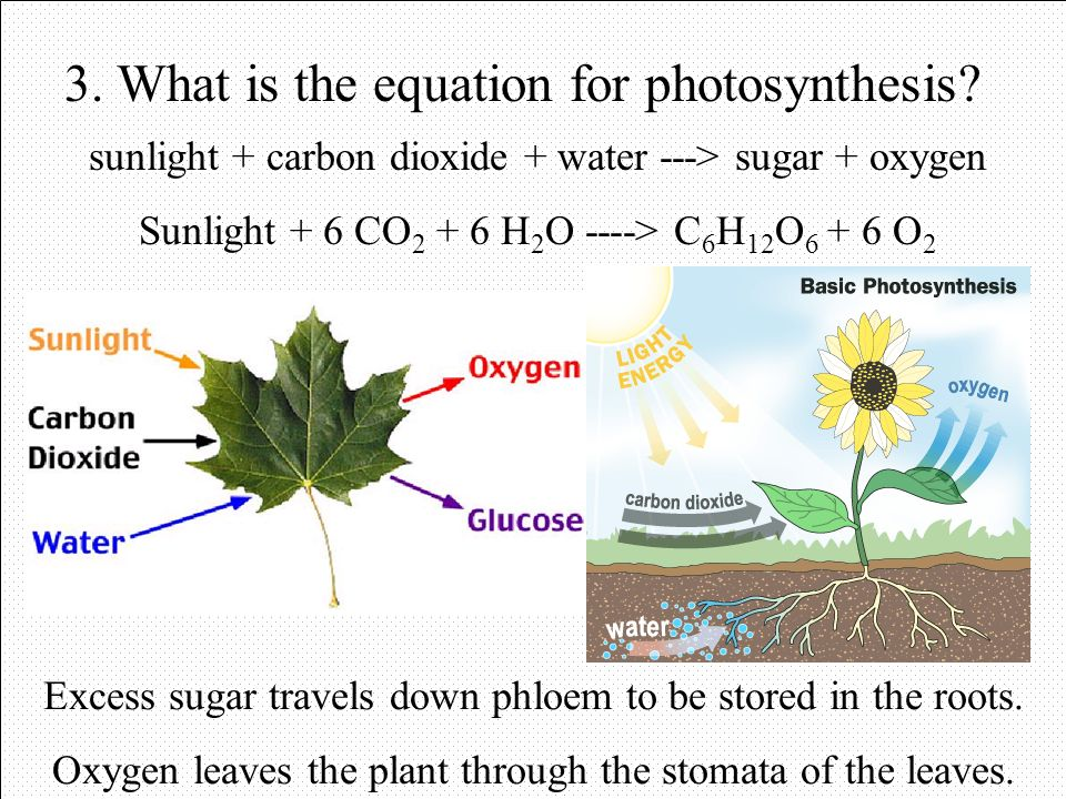 Photosynthesis 1. What is needed for photosynthesis? 2. What does chlorophyll do? - sunlight: chloroplasts in leaves - carbon dioxide: stomata in leav