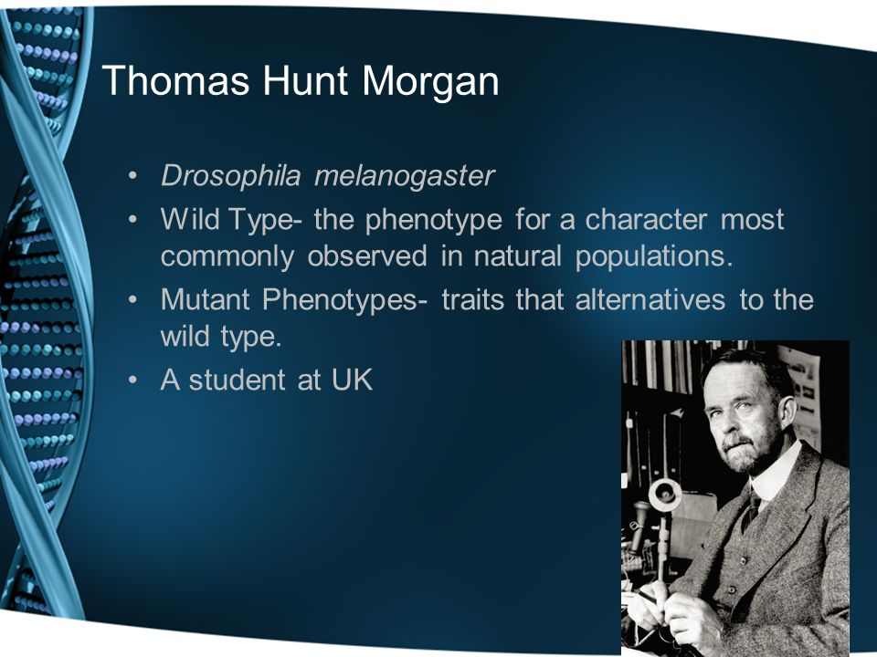 Thomas Hunt Morgan Drosophila melanogaster Wild Type- the phenotype for a character most commonly observed in natural populations. Mutant Phenotypes-