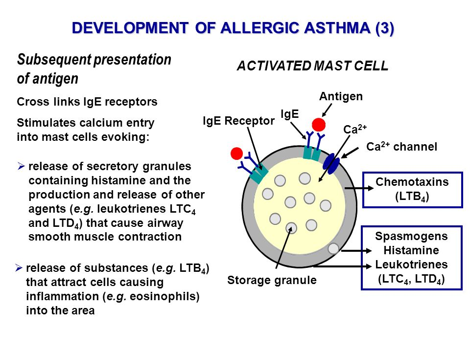 Subsequent presentation of antigen Cross links IgE receptors Stimulates calcium entry into mast cells evoking: DEVELOPMENT OF ALLERGIC ASTHMA (3) ACTI