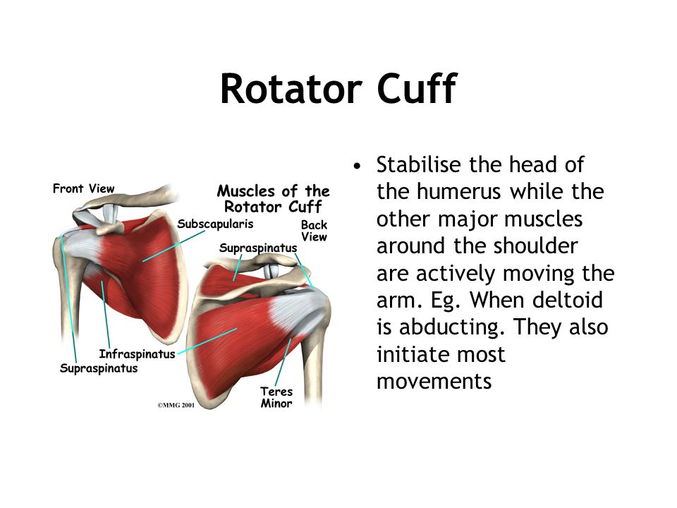 Rotator Cuff Stabilise the head of the humerus while the other major muscles around the shoulder are actively moving the arm. Eg. When deltoid is abdu