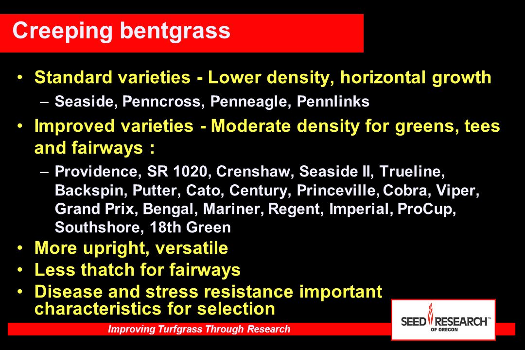 Improving Turfgrass Through Research Improved - Moderate high density for greens, tees and fairways –SR 1150, SR 1119, Brighton (SR 1120), Sandhill, Ninety-six two, L-93, LS-44, Alpha, Independence, Bengal, Penneagle II, Pennlinks II, Benchmark DSR, 13-M Higher density than older cultivars - Upright growth Slightly more potential for thatch - watch fertility Most moderately fine texture Select for important disease resistance, color, stress tolerance Creeping bentgrass