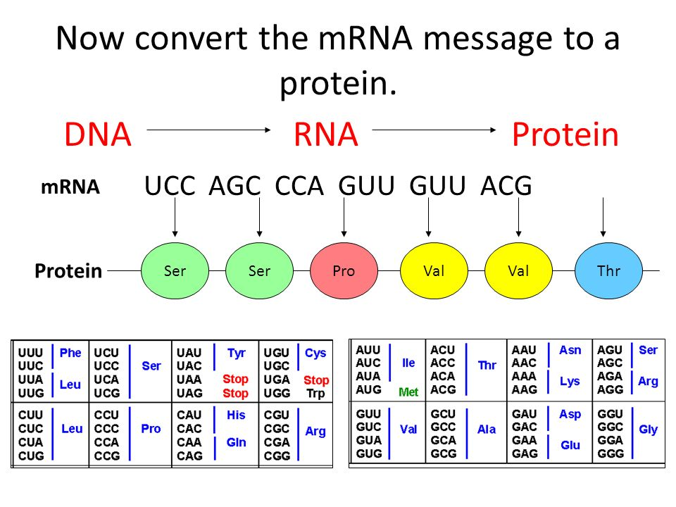 Now convert the mRNA message to a protein. mRNA UCC AGC CCA GUU GUU ACG Ser ProVal Thr Protein DNA RNA Protein