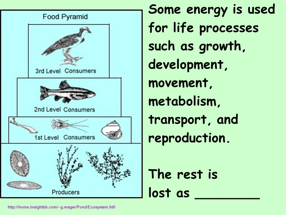 Some energy is used for life processes such as growth, development, movement, metabolism, transport, and reproduction. The rest is lost as ________ ht