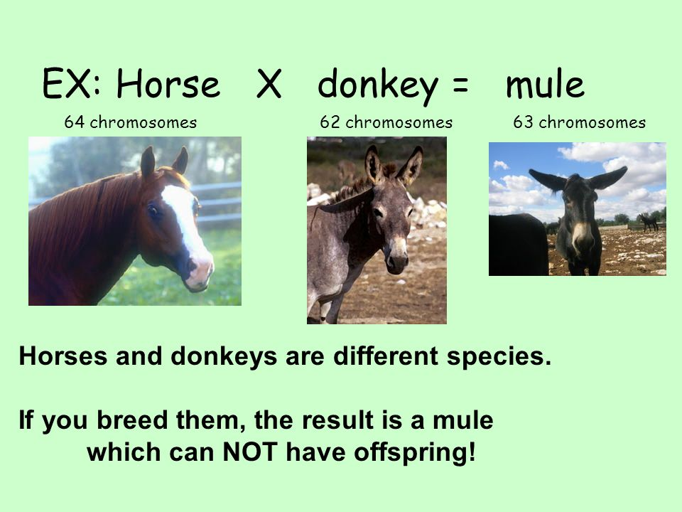 EX: Horse X donkey = mule 64 chromosomes62 chromosomes63 chromosomes Horses and donkeys are different species. If you breed them, the result is a mule
