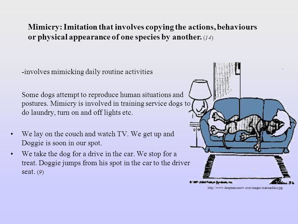 -involves mimicking daily routine activities Some dogs attempt to reproduce human situations and postures. Mimicry is involved in training service dog