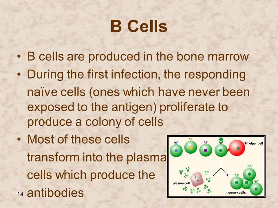 14 B Cells B cells are produced in the bone marrow During the first infection, the responding naїve cells (ones which have never been exposed to the a