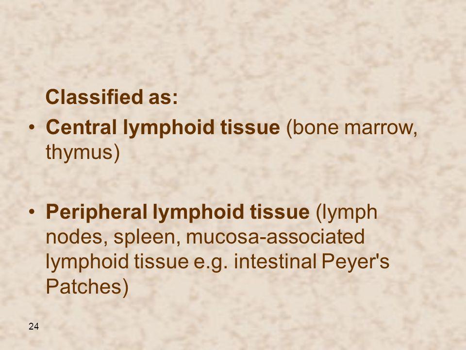 24 Classified as: Central lymphoid tissue (bone marrow, thymus) Peripheral lymphoid tissue (lymph nodes, spleen, mucosa-associated lymphoid tissue e.g