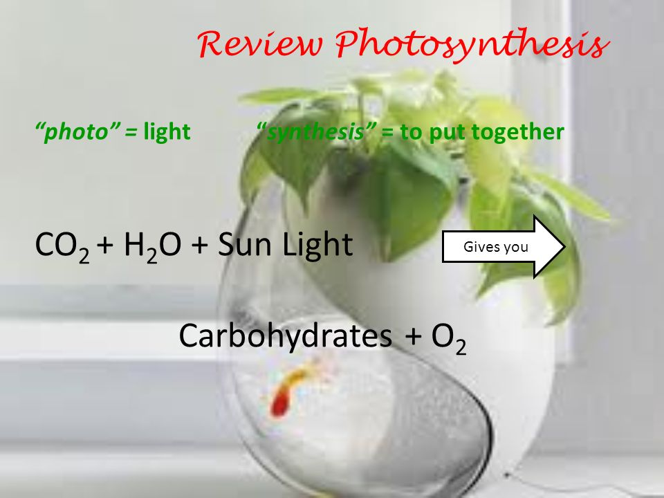 Review Photosynthesis CO 2 + H 2 O + Sun Light Gives you Carbohydrates + O 2 Carbon dioxide Water Sugar (glucose) Oxygen