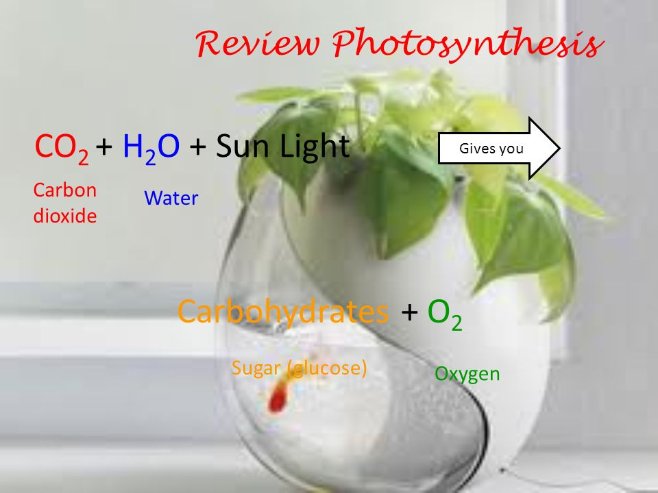 Review Photosynthesis CO 2 + H 2 O + Sun Light Gives you Carbohydrates + O 2 1.