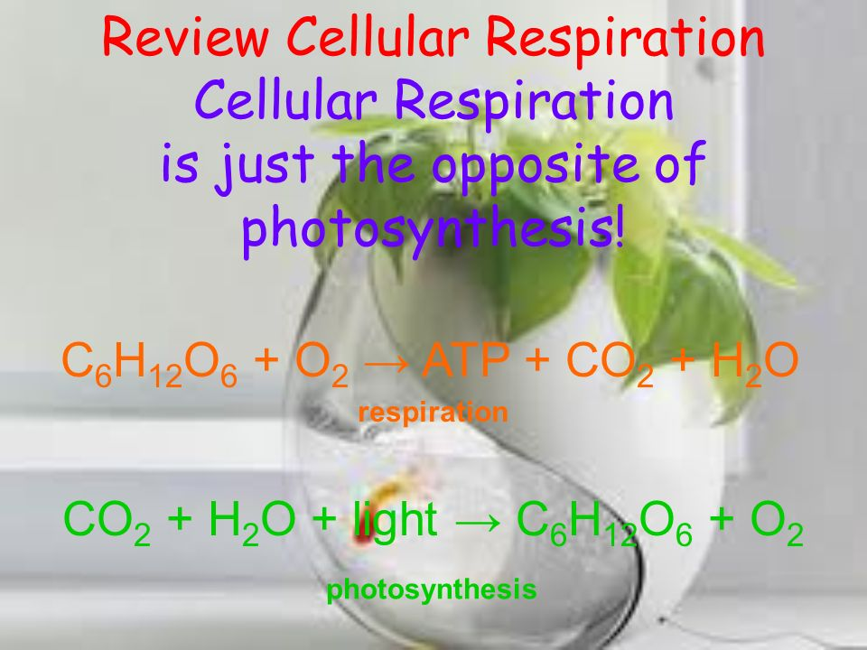 Review Cellular Respiration C 6 H 12 O 6 O 2 ATP CO 2 H 2 O Carbon dioxide Water Sugar (glucose) Oxygen Energy Reactants (whats needed) Products (whats produced)
