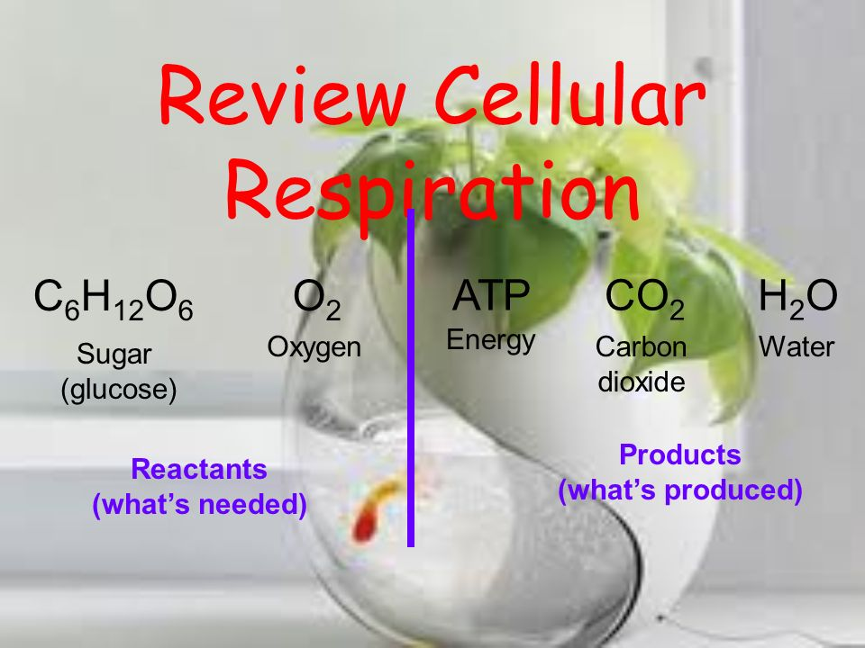Review Cellular Respiration Important facts for marine biologist: All living organisms break down sugars to get energy.