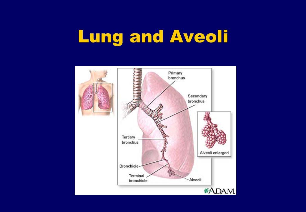 Lung and Aveoli