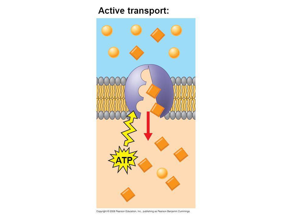 Active transport: ATP